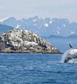 walvissafari Noorwegen Vesteralen Lofoten Tromso zeilen zeilschip zeilvakantie sportief actief fotografie wildlife Andenes bultrug fjord Norway humpback whale sailing cruise SeaWind Adventures